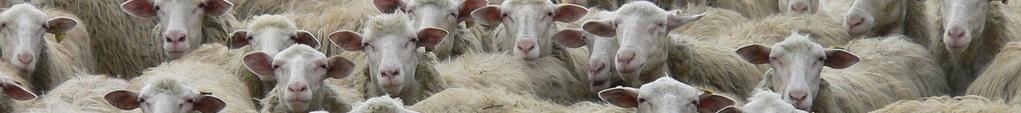 giungla aperitivo: pecore